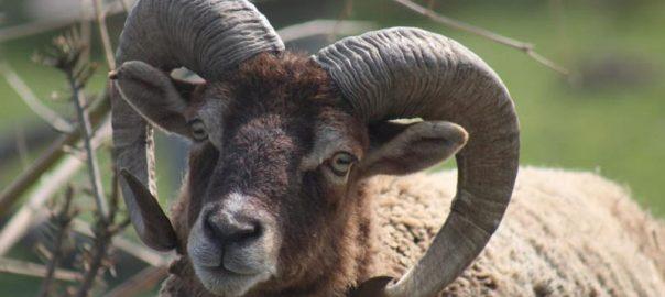 Schaf Herbert (c) MonRo Ranch